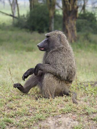 Olive baboon, Papio anubis, Single mammal, Kenya, September 2019
