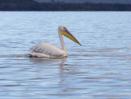 Great-white pelican, Pelecanus onocrotalus, Single bird on water, Kenya, September 2019