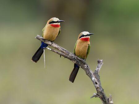White-fronted bee-eater,Merops bullockoides, two birds on branch, Kenya, September 2019
