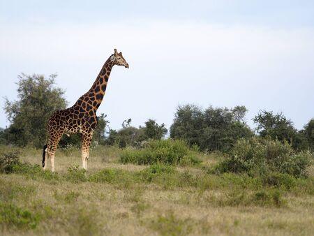 Rothschilds giraffe, Giraffa camelopardalis rothschildi, Kenya, September 2019  Stock Photo