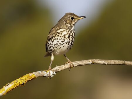 Song thrush, Turdus philomelos,  single bird on branch, Spain, January 2020