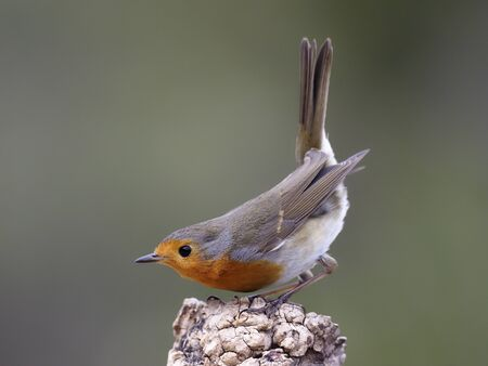 Robin, Erithacus rubecula,  single bird on branch, Spain, January 2020 Stockfoto