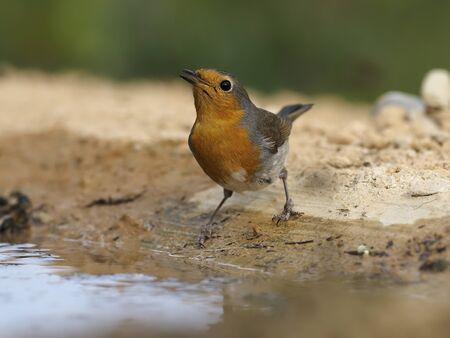 Robin, Erithacus rubecula,  single bird by water, Spain, January 2020 Stockfoto