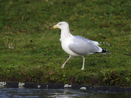 Herring gull, Larus argentatus, single bird with crayfish, London, December 2019
