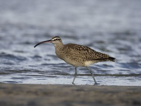 Whimbrel, Numenius phaeopus, Single bird in water, Baja California, Mexico, January 2020