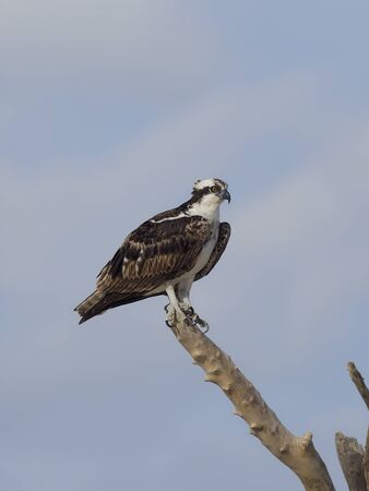 Osprey, Pandion haliaetus, Single bird on branch, Baja California, Mexico, January 2020