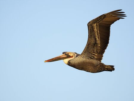 Brown pelican, Pelecanus occidentalis, Single bird in flight, Baja California, Mexico, January 2020