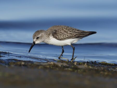 Sanderling, Calidris alba, Single bird in water, Baja California, Mexico, January 2020