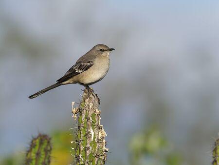 Tropical mockingbird, Mimus gilvus, Single bird on cactus, Baja California, Mexico, January 2020