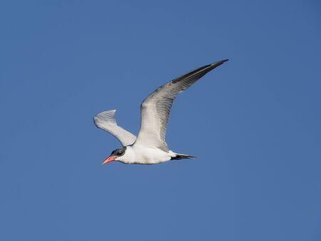 Caspian tern, Sterna caspia, Single bird in flight, Baja California, Mexico, January 2020