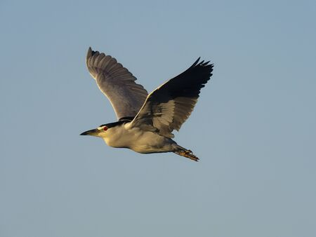 Black-crowned night-heron, Nycticorax nycticorax, Single bird in flight, Baja California, Mexico, January 2020