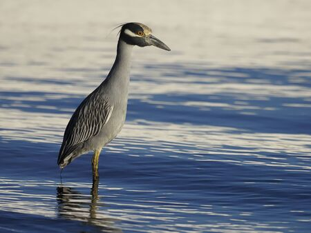 Yellow-crowned night-heron, Nycticorax violacea, Single bird in water, Baja California, Mexico, January 2020 版權商用圖片