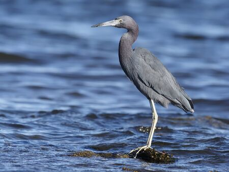 Little-blue heron, Egretta caerulea, Single bird in water, Baja California, Mexico, January 2020