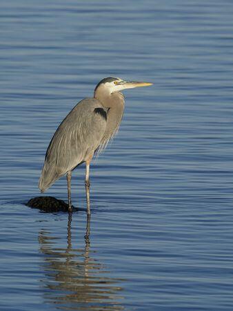 Great-blue heron, Ardea herodias, Single bird in water, Baja California, Mexico, January 2020 Stockfoto