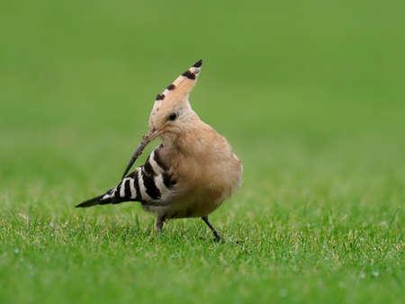 Hoopoe, Upupa epops, Single bird on grass, Collingham, Yorkshire, October 2020