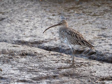 Curlew, Numenius arquata, single bird on mud, Norfolk, October 2020