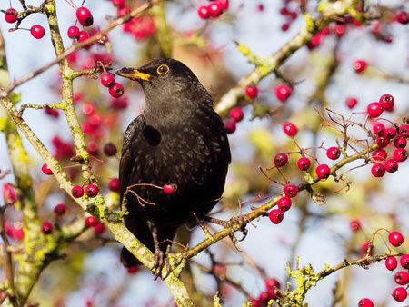 Blackbird, Turdus merula, single male on Hawthorn berries, Warwickshire, December 2020 Archivio Fotografico