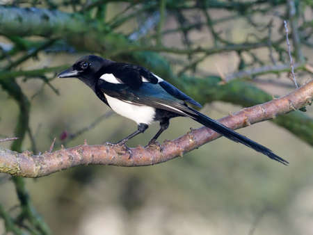 Magpie, Pica pica, single bird on branch, Warwickshire, December 2020