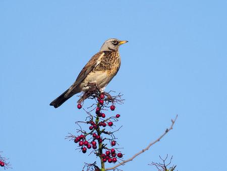 Fieldfare, Turdus pilaris, single bird on Hawthorn berries, Warwickshire, December 2020