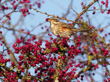 Redwing, Turdus iliacus, single bird on Hawthorn berries, Warwickshire, December 2020