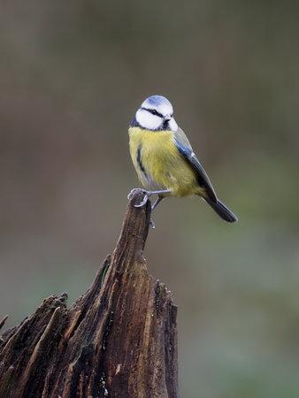 Blue tit, Cyanistes caeruleus, single bird on branch, Warwickshire, December 2020