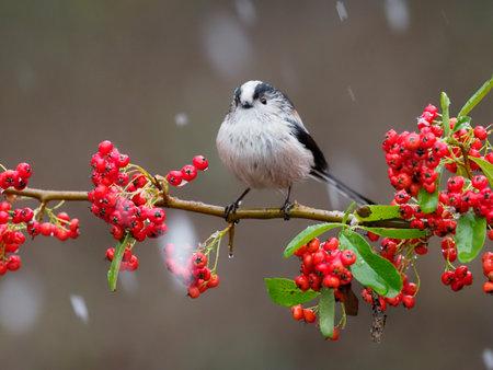 Long-tailed tit, Aegithalos caudatus, single bird on berries, Warwickshire, December 2020