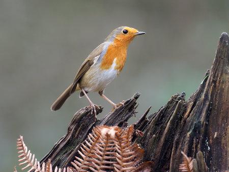 Robin, Erithacus rubecula, single bird on branch, Warwickshire, December 2020