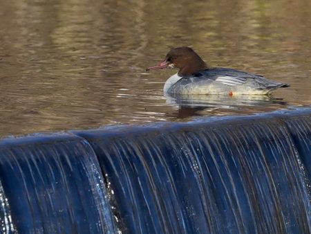 Goosander, Mergus merganser, single female on water, Warwickshire, December 2020