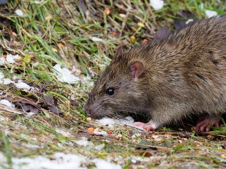 Brown rat, Rattus norvegicus, single mammal on ground,  Warwickshire, December 2020
