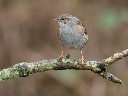 Dunnock or Hedge sparrow, Prunella modularis, single bird on branch, Warwickshire, December 2020