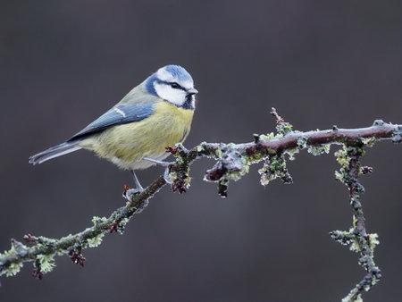 Blue tit, Cyanistes caeruleus, single bird on berries, Warwickshire, December 2020 Archivio Fotografico