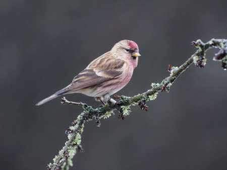 Lesser redpoll, Acanthis cabaret, single bird on branch, Warwickshire, December 2020