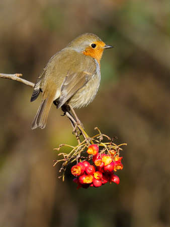Robin, Erithacus rubecula, single bird on Rowan berries, Warwickshire, December 2020