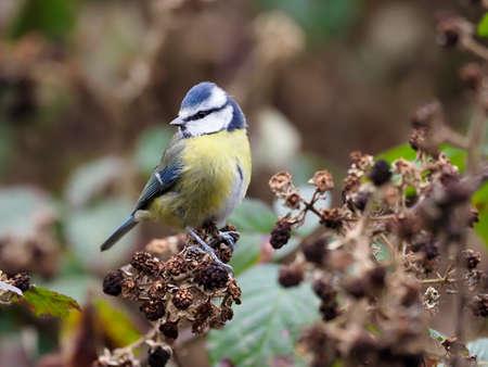 Blue tit, Cyanistes caeruleus, single bird on bramble, Warwickshire, January 2021 Archivio Fotografico
