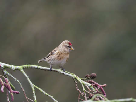 Lesser redpoll, Acanthis cabaret, single bird on catkins, Warwickshire,Jjanuary 2021