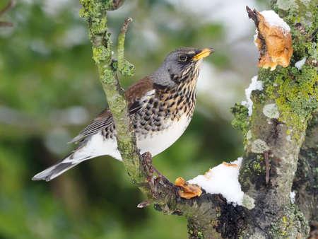 Fieldfare, Turdus pilaris, single bird on branch  in snow,  Warwickshire, January 2021