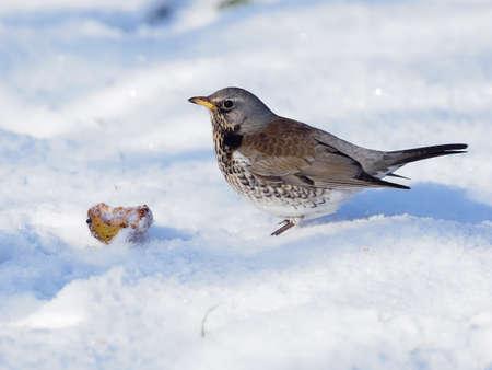 Fieldfare, Turdus pilaris, single bird in snow,  Warwickshire, January 2021 Archivio Fotografico