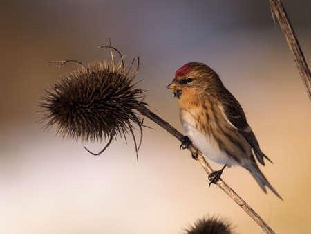 Lesser redpoll, Acanthis cabaret, single bird on teasle, Warwickshire, January 2021