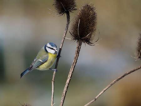 Blue tit, Cyanistes caeruleus, single bird on teasle, Warwickshire, January 2021