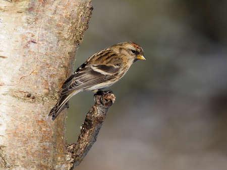 Lesser redpoll, Acanthis cabaret, single bird on branch, Warwickshire, January 2021