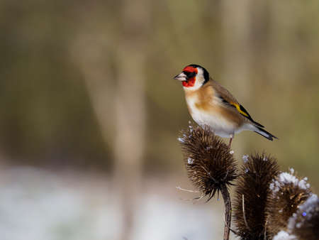 Goldfinch, Carduelis carduelis, single bird on teasle, Warwickshire, January 2021