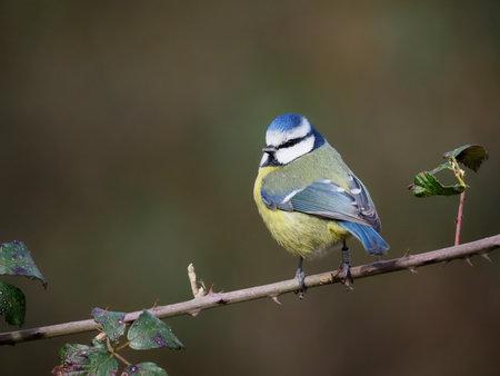Blue tit, Cyanistes caeruleus, single bird on branch, Warwickshire, February 2021 Archivio Fotografico