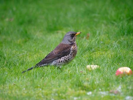 Fieldfare, Turdus pilaris, single bird on grass, Warwickshire, February 2021 Archivio Fotografico