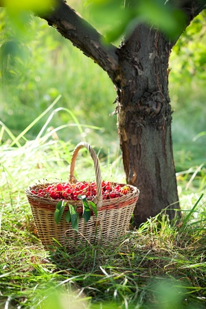 Basket of red cherries under the tree in sunlight.