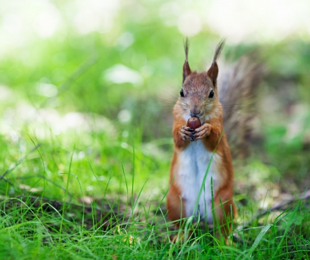 Eurasian red squirrel (Sciurus vulgaris) eating hazelnut on ground, front view, shallow dof photo