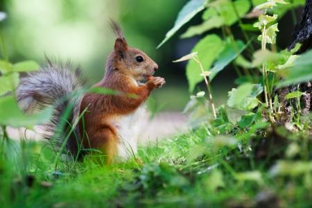 Eurasian red squirrel (Sciurus vulgaris) eating hazelnut on ground, side view, shallow dof
