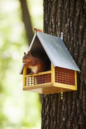 Eurasian red squirrel (Sciurus vulgaris) sitting in feeding trough on tree and eating nuts