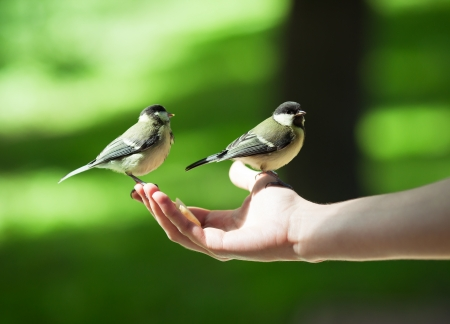 Person feeding little titmouses with an apple, can be the concept of trust, care and nature protection