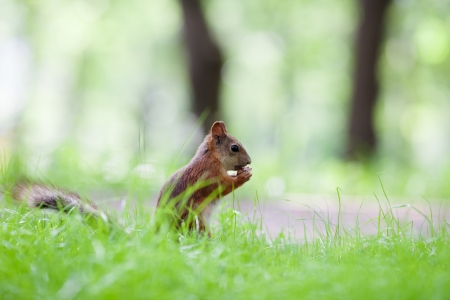 Eurasian red squirrel (Sciurus vulgaris) eating hazelnut on ground, side view, shallow dof photo