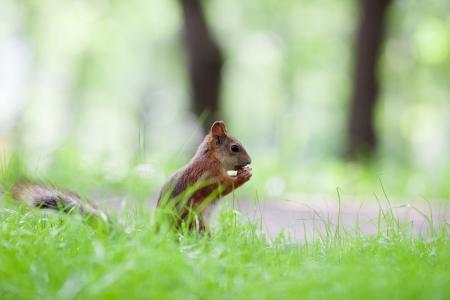 Eurasian red squirrel (Sciurus vulgaris) eating hazelnut on ground, side view, shallow dof photo